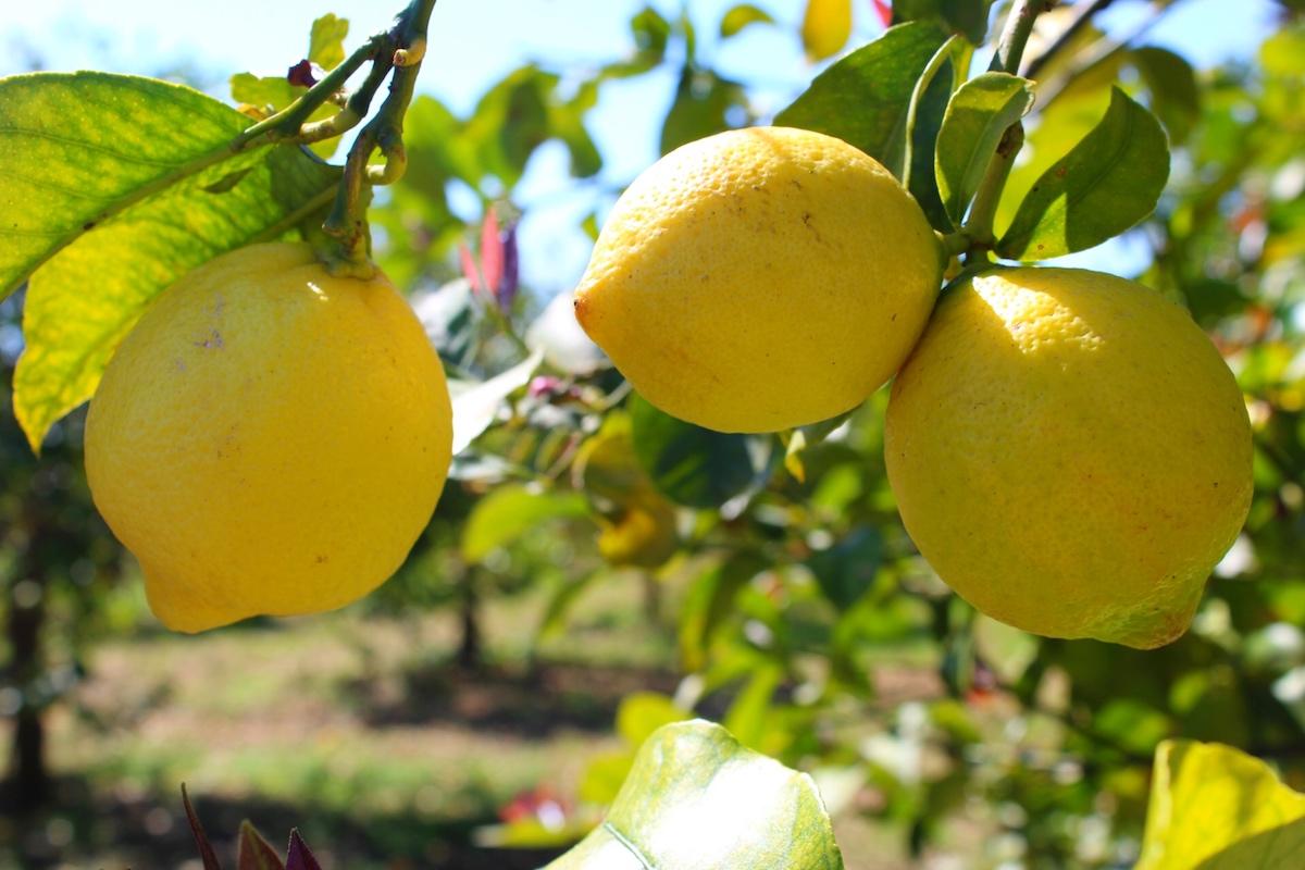 limone siracusa igp